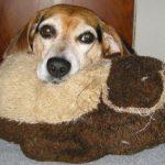 Austin the Beagle